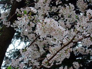 桜きれいだねぇ.jpg